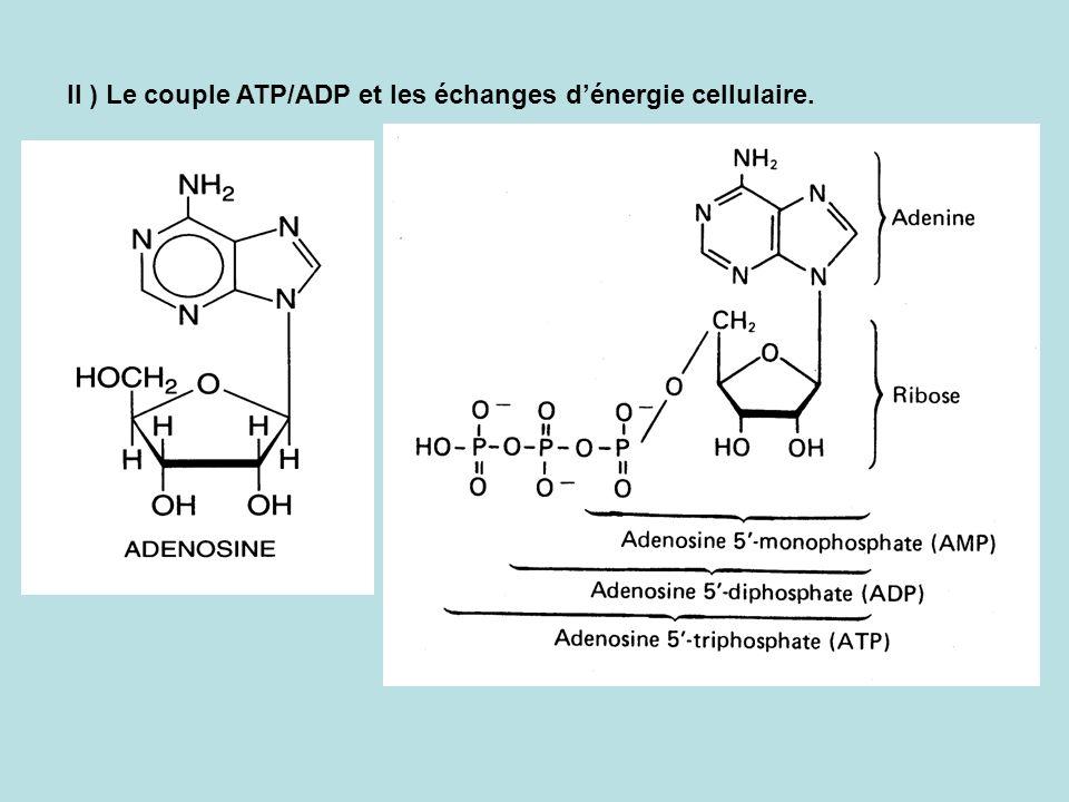 II ) Le couple ATP/ADP et les échanges dénergie cellulaire.