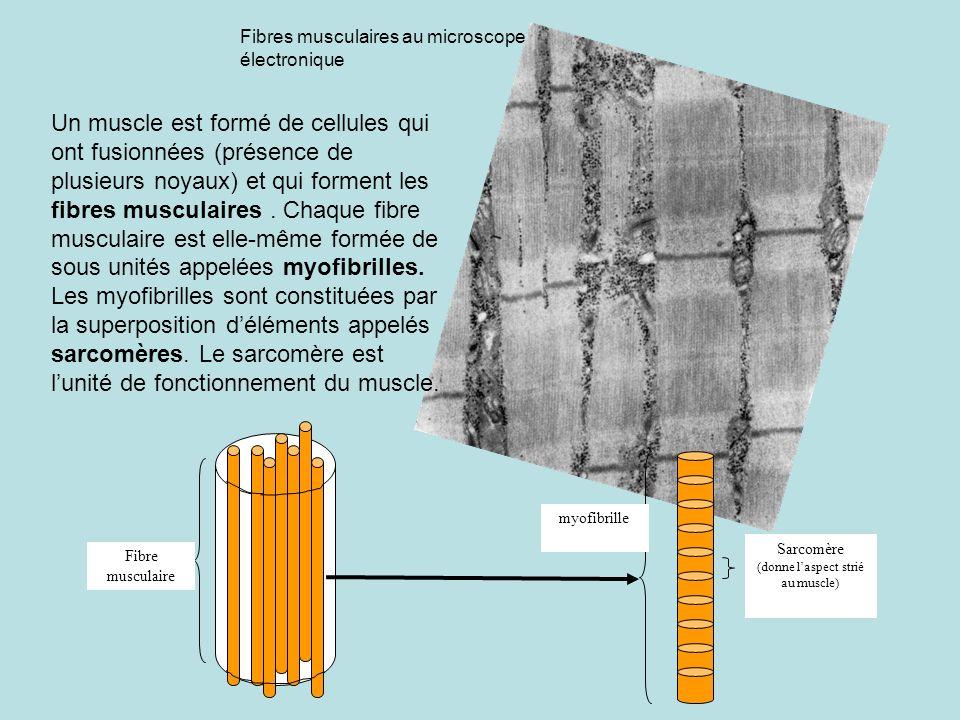 Fibre musculaire Fibres musculaires au microscope électronique Un muscle est formé de cellules qui ont fusionnées (présence de plusieurs noyaux) et qu