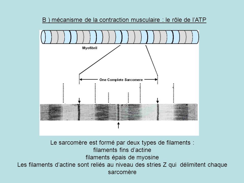 B ) mécanisme de la contraction musculaire : le rôle de lATP Le sarcomère est formé par deux types de filaments : filaments fins dactine filaments épa