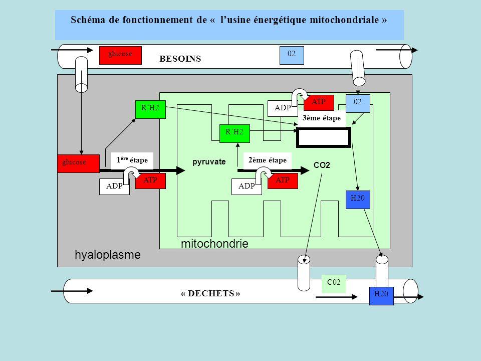 1 ère étape2ème étape 3ème étape BESOINS « DECHETS » 02glucose ADP ATP ADP ATP ADP ATP glucose RH2 02 H20 C02 pyruvate CO2 hyaloplasme mitochondrie Sc
