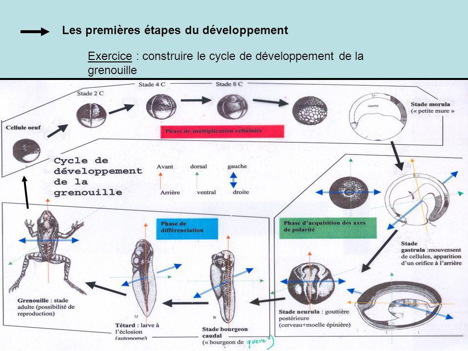 Les premières étapes du développement Exercice : construire le cycle de développement de la grenouille