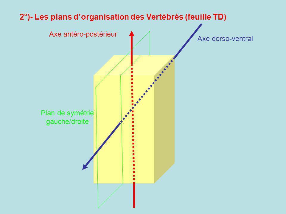 Axe antéro-postérieur Plan de symétrie gauche/droite Axe dorso-ventral 2°)- Les plans dorganisation des Vertébrés (feuille TD)