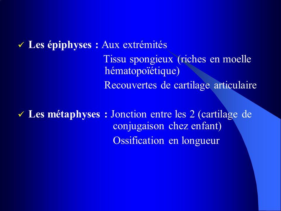 Les épiphyses : Aux extrémités Tissu spongieux (riches en moelle hématopoïétique) Recouvertes de cartilage articulaire Les métaphyses : Jonction entre