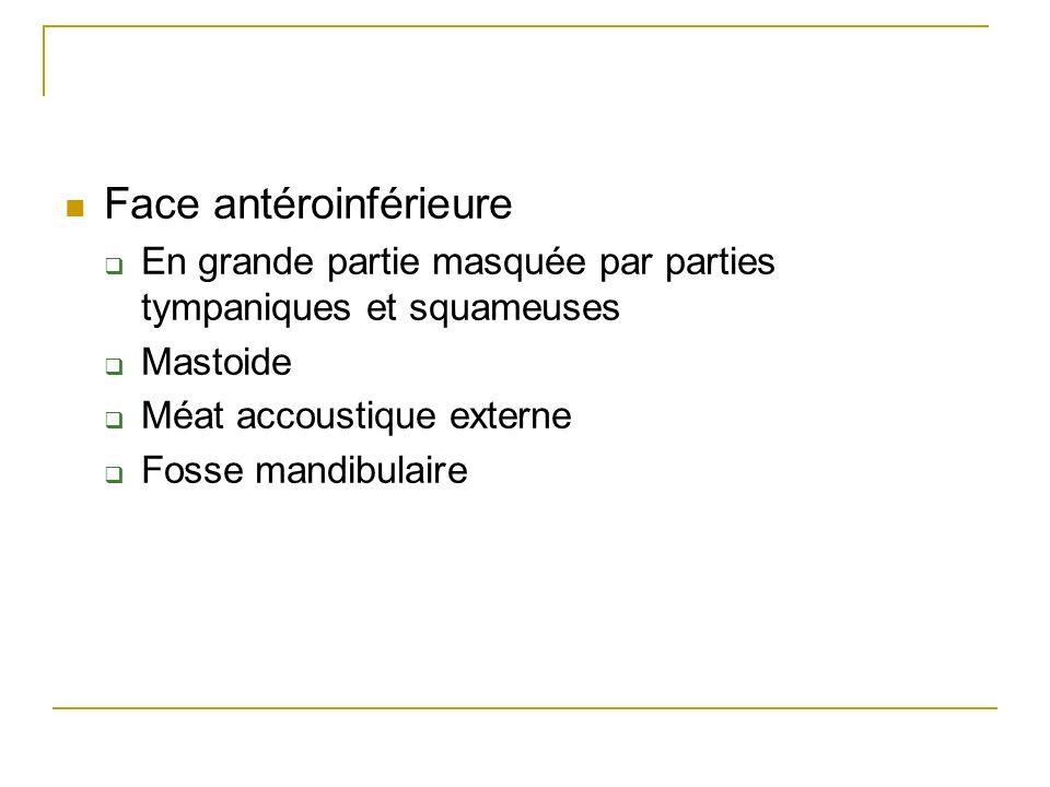 Face antéroinférieure En grande partie masquée par parties tympaniques et squameuses Mastoide Méat accoustique externe Fosse mandibulaire
