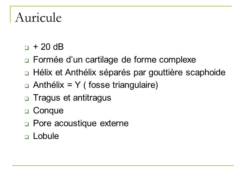 Auricule + 20 dB Formée dun cartilage de forme complexe Hélix et Anthélix séparés par gouttière scaphoide Anthélix = Y ( fosse triangulaire) Tragus et antitragus Conque Pore acoustique externe Lobule
