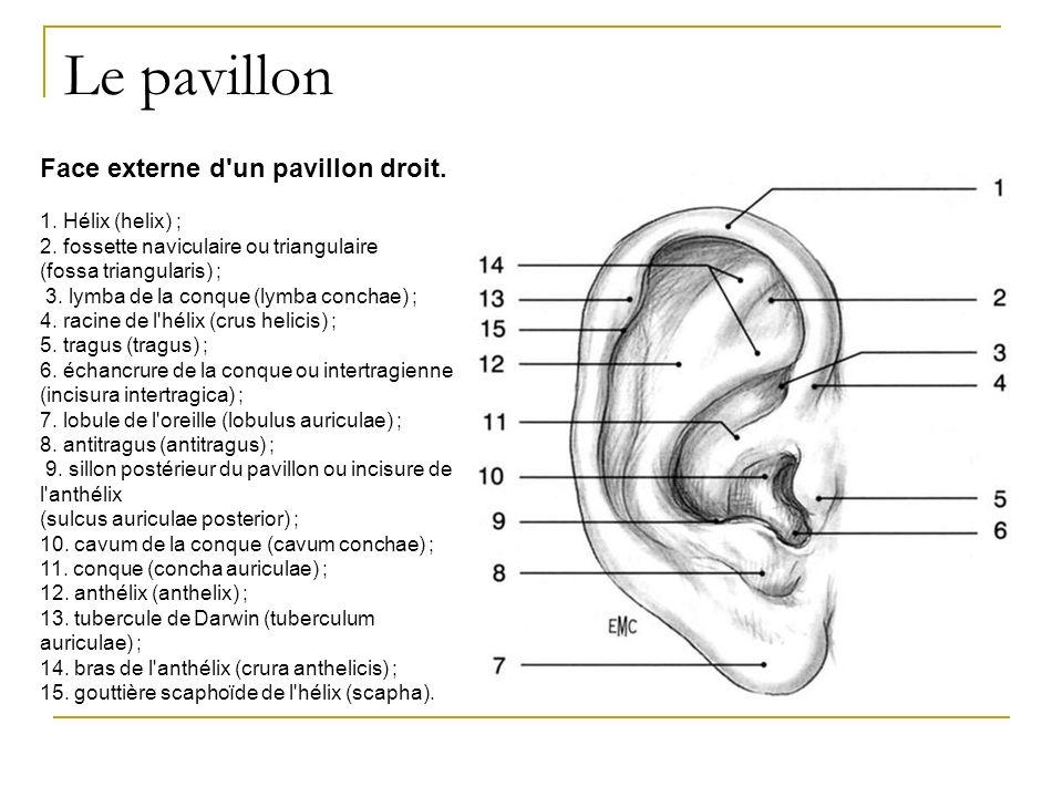 Le pavillon Face externe d'un pavillon droit. 1. Hélix (helix) ; 2. fossette naviculaire ou triangulaire (fossa triangularis) ; 3. lymba de la conque