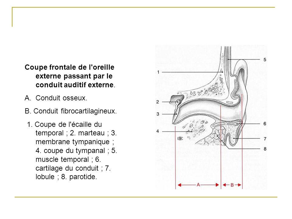 Coupe frontale de l'oreille externe passant par le conduit auditif externe. A.Conduit osseux. B. Conduit fibrocartilagineux. 1. Coupe de l'écaille du