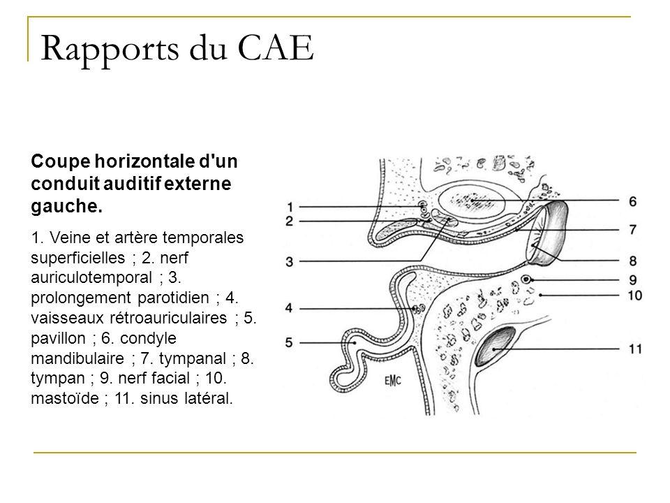 Rapports du CAE Coupe horizontale d'un conduit auditif externe gauche. 1. Veine et artère temporales superficielles ; 2. nerf auriculotemporal ; 3. pr