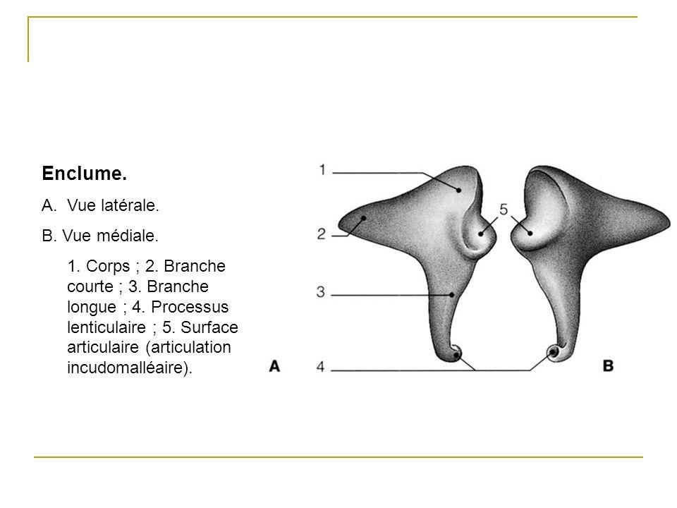 Enclume. A.Vue latérale. B. Vue médiale. 1. Corps ; 2. Branche courte ; 3. Branche longue ; 4. Processus lenticulaire ; 5. Surface articulaire (articu