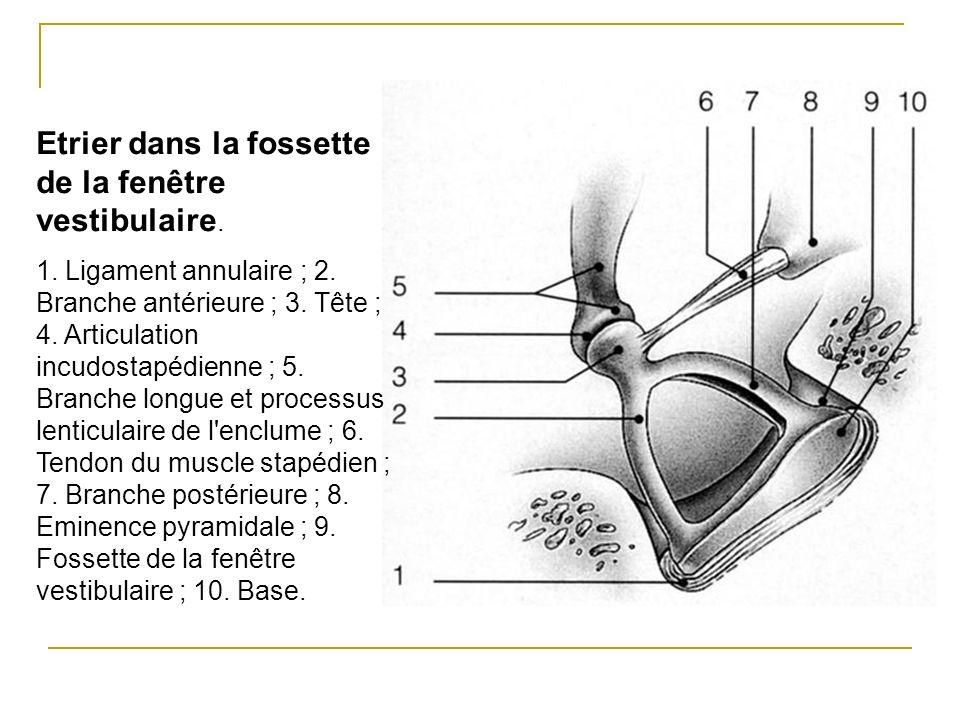 Etrier dans la fossette de la fenêtre vestibulaire. 1. Ligament annulaire ; 2. Branche antérieure ; 3. Tête ; 4. Articulation incudostapédienne ; 5. B