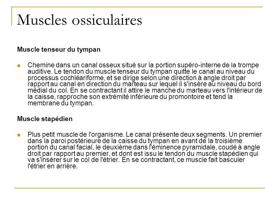 Muscles ossiculaires Muscle tenseur du tympan Chemine dans un canal osseux situé sur la portion supéro-interne de la trompe auditive.