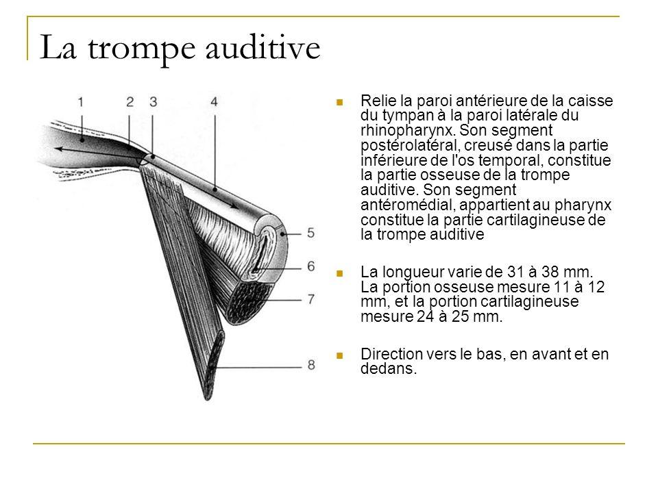 La trompe auditive Relie la paroi antérieure de la caisse du tympan à la paroi latérale du rhinopharynx. Son segment postérolatéral, creusé dans la pa