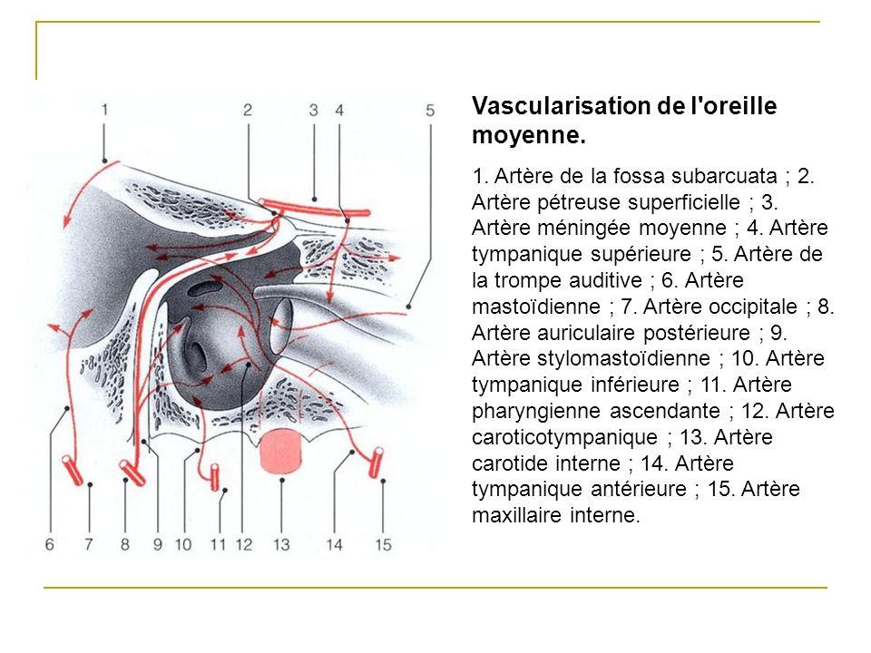 Vascularisation de l'oreille moyenne. 1. Artère de la fossa subarcuata ; 2. Artère pétreuse superficielle ; 3. Artère méningée moyenne ; 4. Artère tym