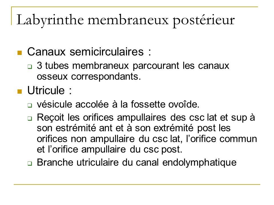 Labyrinthe membraneux postérieur Canaux semicirculaires : 3 tubes membraneux parcourant les canaux osseux correspondants. Utricule : vésicule accolée