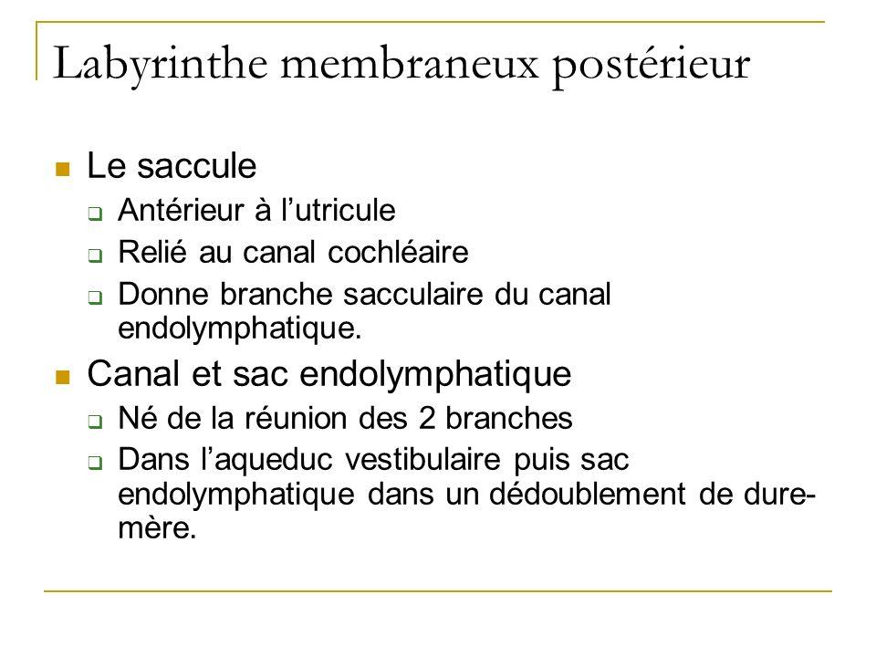 Labyrinthe membraneux postérieur Le saccule Antérieur à lutricule Relié au canal cochléaire Donne branche sacculaire du canal endolymphatique.