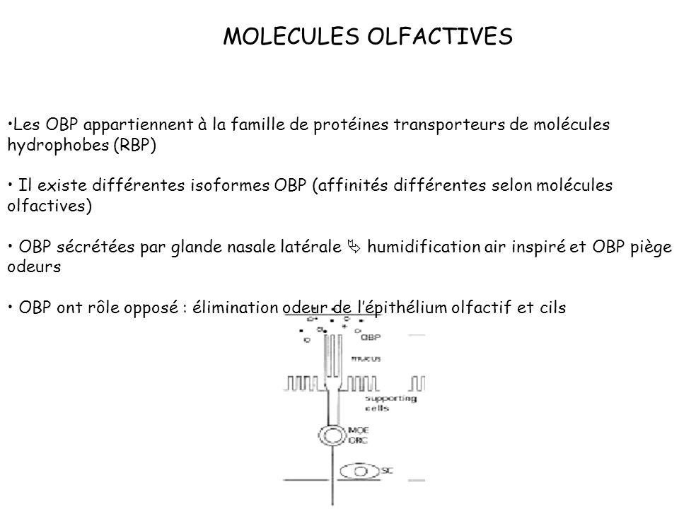 MOLECULES OLFACTIVES Les OBP appartiennent à la famille de protéines transporteurs de molécules hydrophobes (RBP) Il existe différentes isoformes OBP