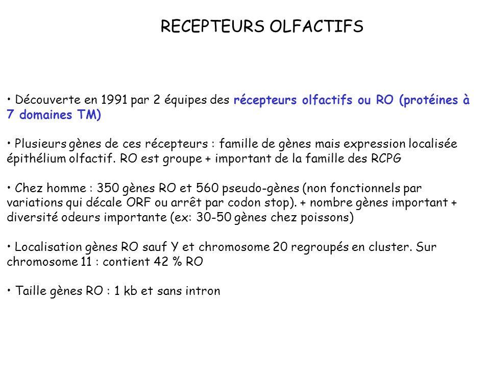 RECEPTEURS OLFACTIFS Découverte en 1991 par 2 équipes des récepteurs olfactifs ou RO (protéines à 7 domaines TM) Plusieurs gènes de ces récepteurs : f