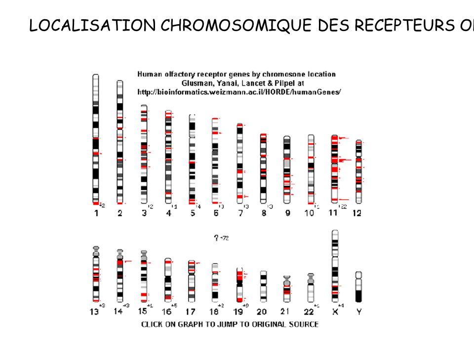 LOCALISATION CHROMOSOMIQUE DES RECEPTEURS OLFACTIFS
