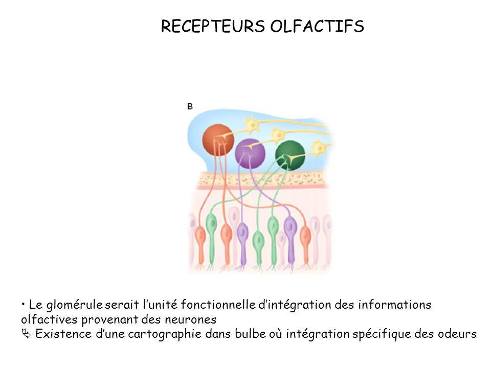 RECEPTEURS OLFACTIFS Le glomérule serait lunité fonctionnelle dintégration des informations olfactives provenant des neurones Existence dune cartograp