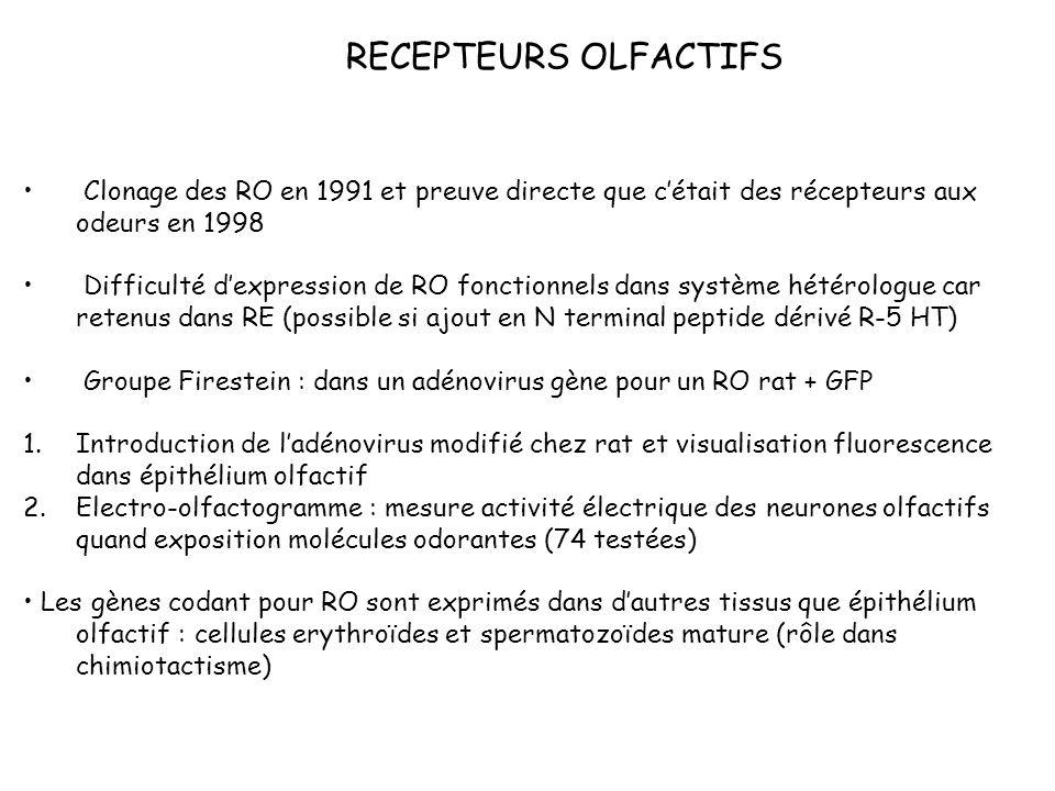 RECEPTEURS OLFACTIFS Clonage des RO en 1991 et preuve directe que cétait des récepteurs aux odeurs en 1998 Difficulté dexpression de RO fonctionnels d