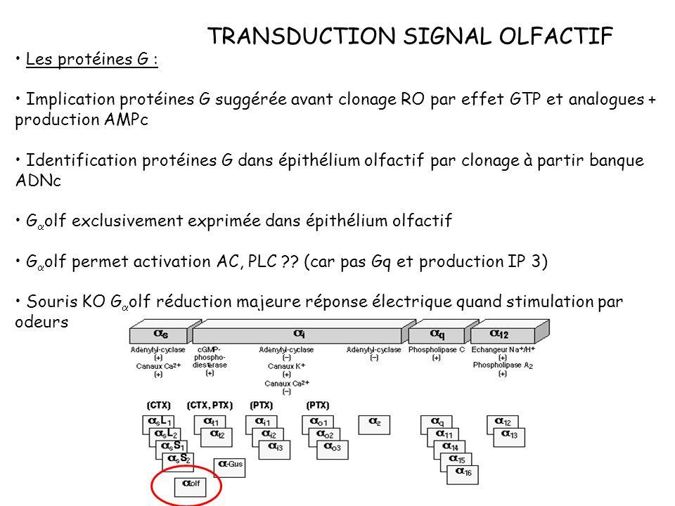 TRANSDUCTION SIGNAL OLFACTIF Les protéines G : Implication protéines G suggérée avant clonage RO par effet GTP et analogues + production AMPc Identifi