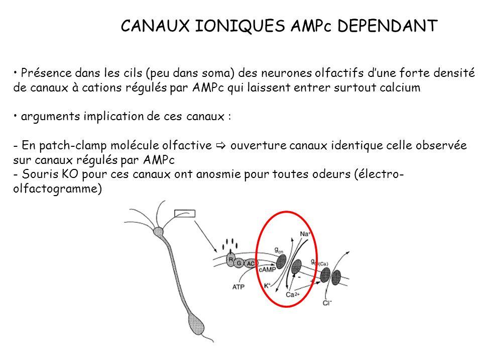 CANAUX IONIQUES AMPc DEPENDANT Présence dans les cils (peu dans soma) des neurones olfactifs dune forte densité de canaux à cations régulés par AMPc q