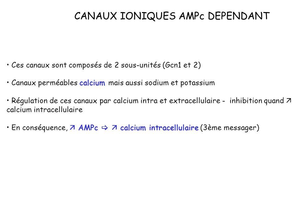 CANAUX IONIQUES AMPc DEPENDANT Ces canaux sont composés de 2 sous-unités (Gcn1 et 2) Canaux perméables calcium mais aussi sodium et potassium Régulati