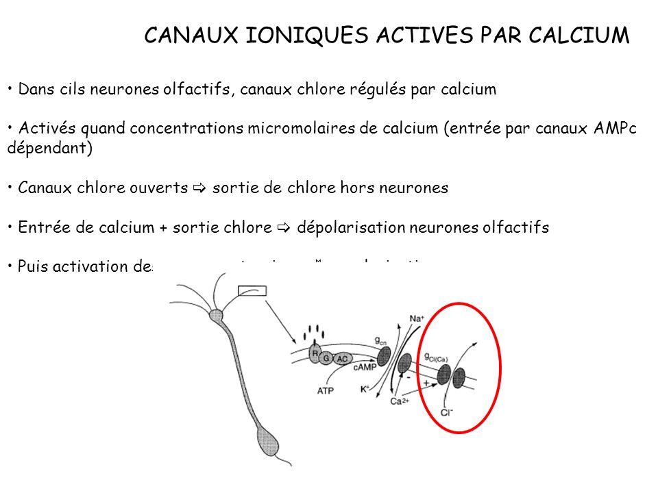 CANAUX IONIQUES ACTIVES PAR CALCIUM Dans cils neurones olfactifs, canaux chlore régulés par calcium Activés quand concentrations micromolaires de calc