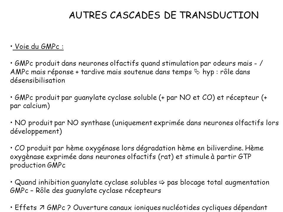 AUTRES CASCADES DE TRANSDUCTION Voie du GMPc : GMPc produit dans neurones olfactifs quand stimulation par odeurs mais - / AMPc mais réponse + tardive