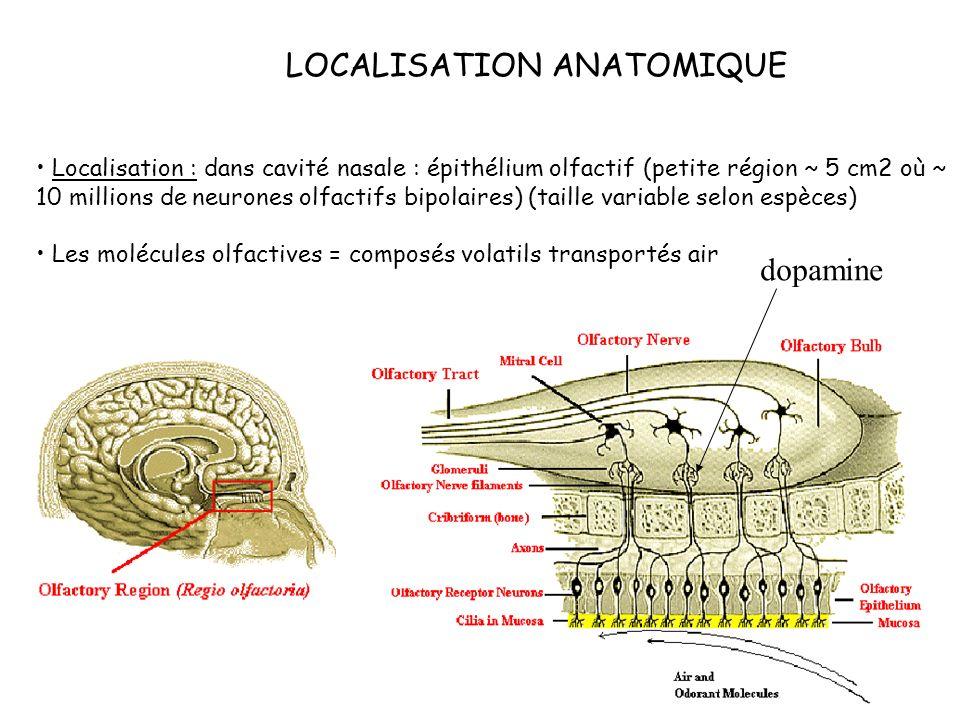 LOCALISATION ANATOMIQUE Localisation : dans cavité nasale : épithélium olfactif (petite région ~ 5 cm2 où ~ 10 millions de neurones olfactifs bipolair