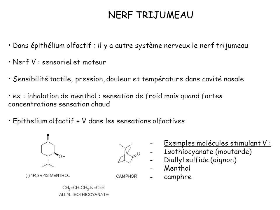 NERF TRIJUMEAU Dans épithélium olfactif : il y a autre système nerveux le nerf trijumeau Nerf V : sensoriel et moteur Sensibilité tactile, pression, d