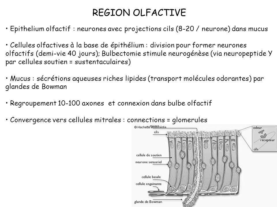 REGION OLFACTIVE Epithelium olfactif : neurones avec projections cils (8-20 / neurone) dans mucus Cellules olfactives à la base de épithélium : divisi