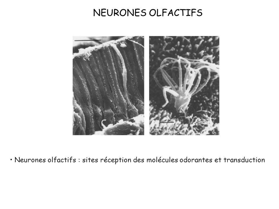 NEURONES OLFACTIFS Neurones olfactifs : sites réception des molécules odorantes et transduction