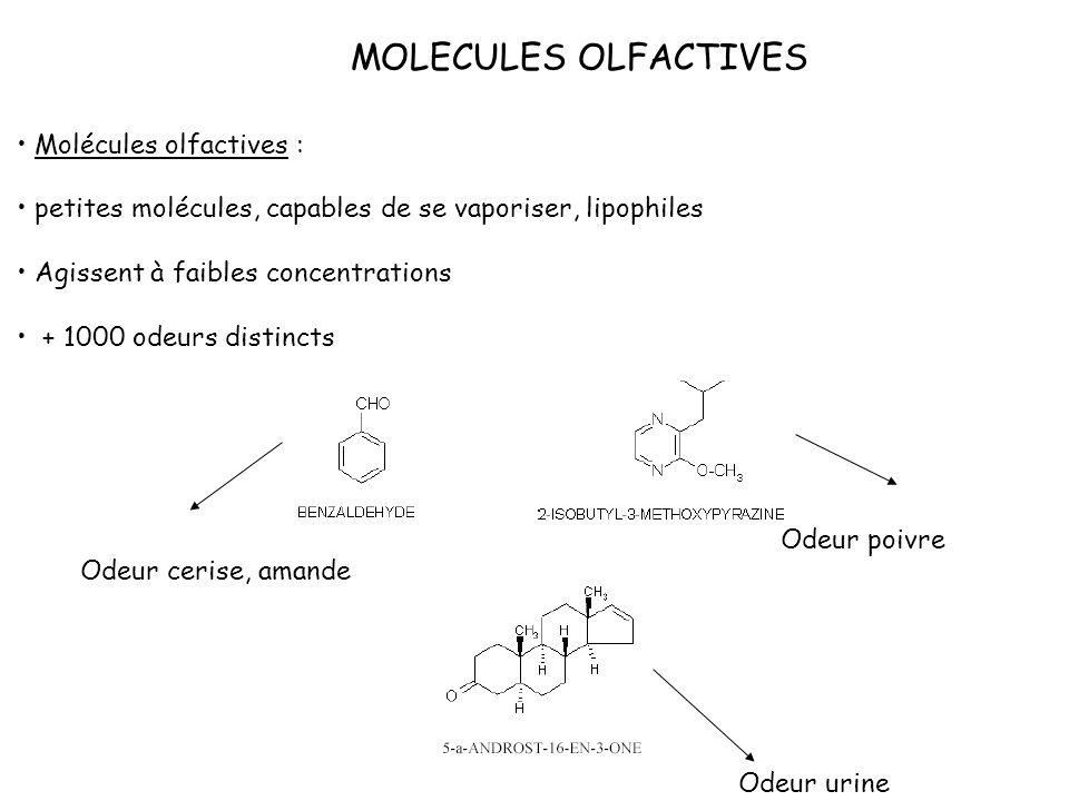 MOLECULES OLFACTIVES Molécules olfactives : petites molécules, capables de se vaporiser, lipophiles Agissent à faibles concentrations + 1000 odeurs di