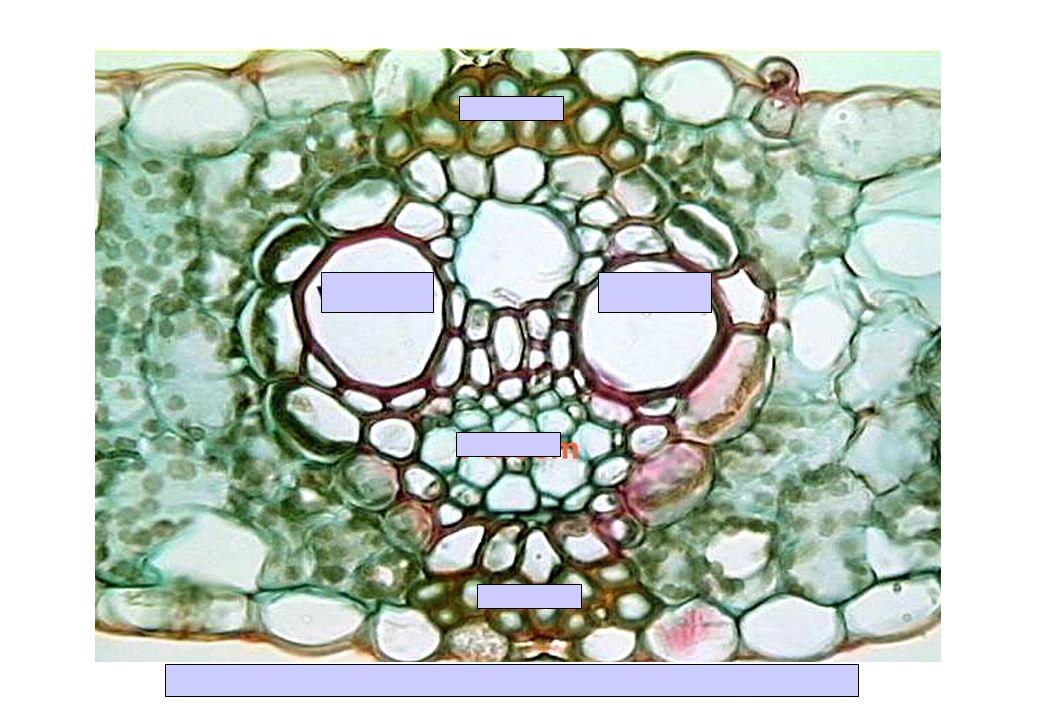 CT Nervure secondaire de feuille de Zea mays