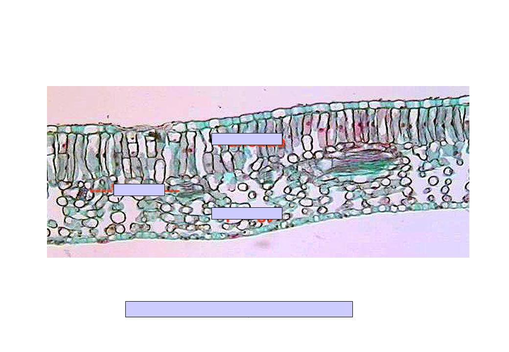 CT de feuille de Ligustrum (Dicot.)