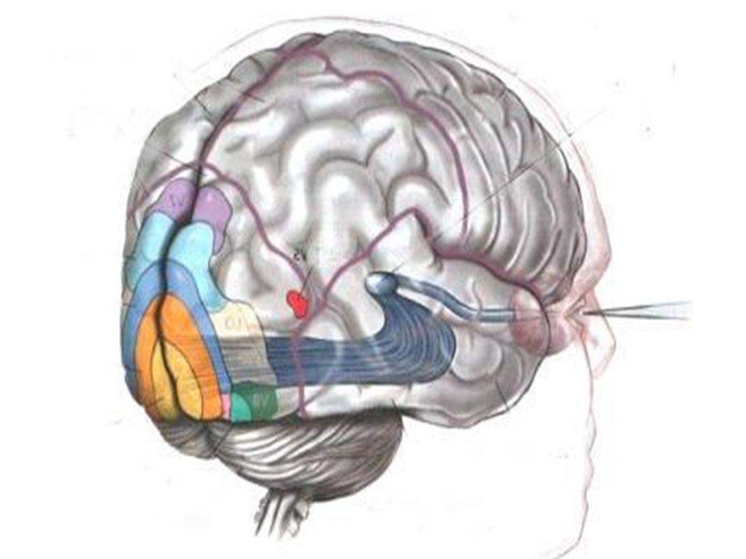 Les sens somatiques Le toucher: déformation de la peau ==> détection des changements La température: neurones sensorielle spécifique pour la température