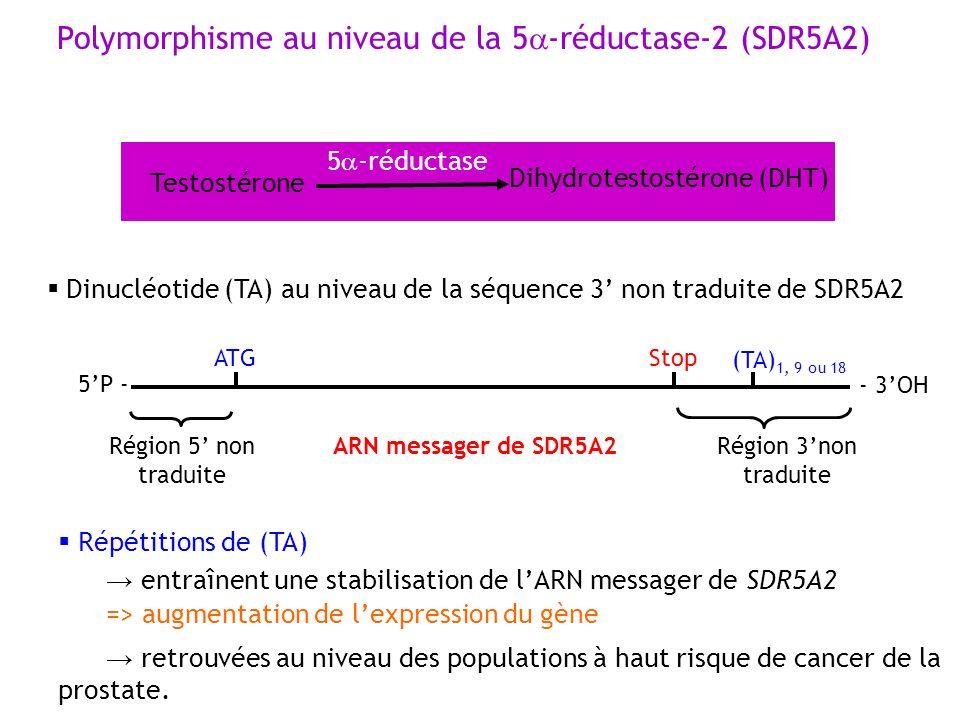 Polymorphisme au niveau de la 5 -réductase-2 (SDR5A2) Testostérone Dihydrotestostérone (DHT) 5 -réductase Répétitions de (TA) entraînent une stabilisa