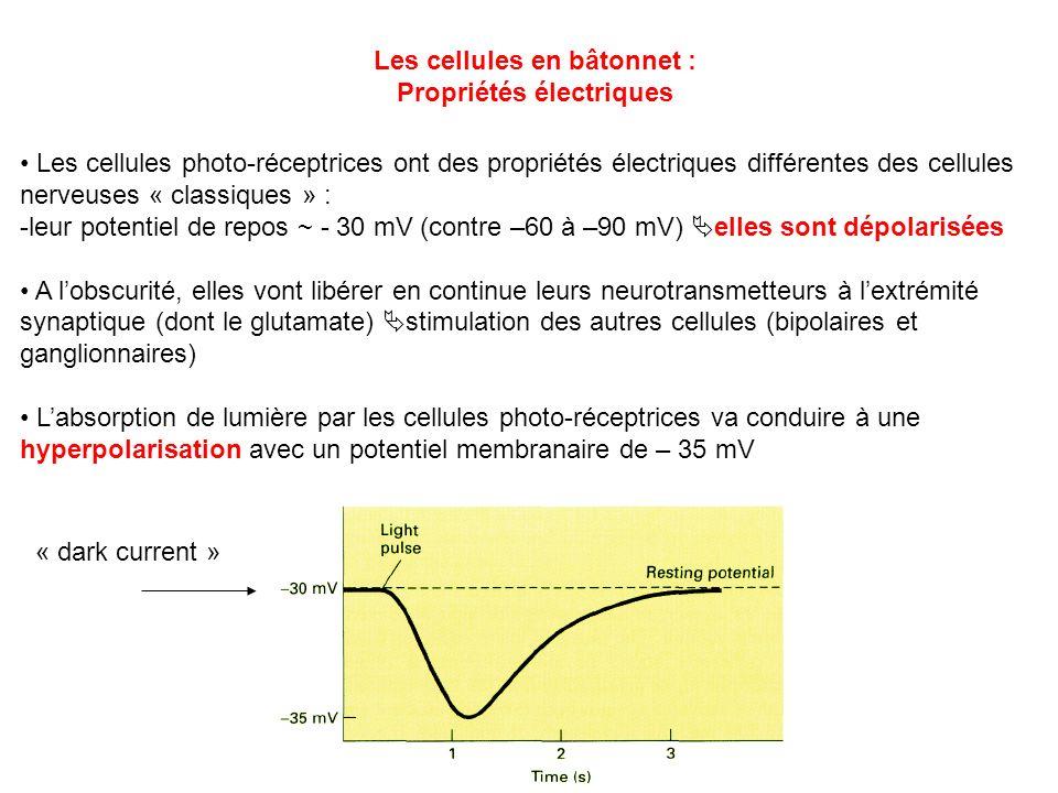 Les cellules en bâtonnet : Propriétés électriques Les cellules photo-réceptrices ont des propriétés électriques différentes des cellules nerveuses « c