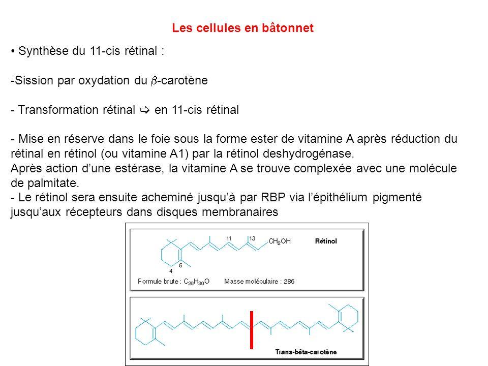 Les cellules en bâtonnet Synthèse du 11-cis rétinal : -Sission par oxydation du -carotène - Transformation rétinal en 11-cis rétinal - Mise en réserve