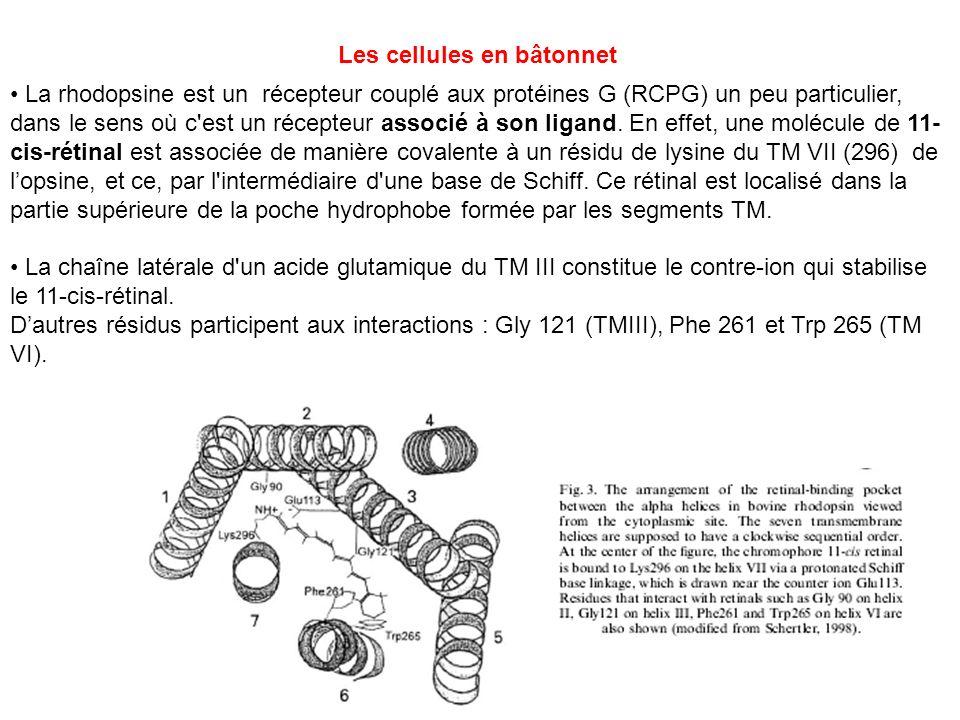 La rhodopsine est un récepteur couplé aux protéines G (RCPG) un peu particulier, dans le sens où c'est un récepteur associé à son ligand. En effet, un