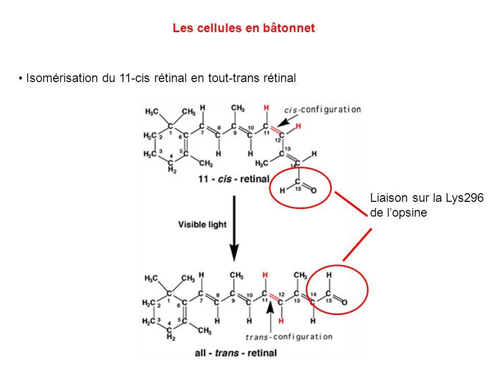 Les cellules en bâtonnet Isomérisation du 11-cis rétinal en tout-trans rétinal Liaison sur la Lys296 de lopsine