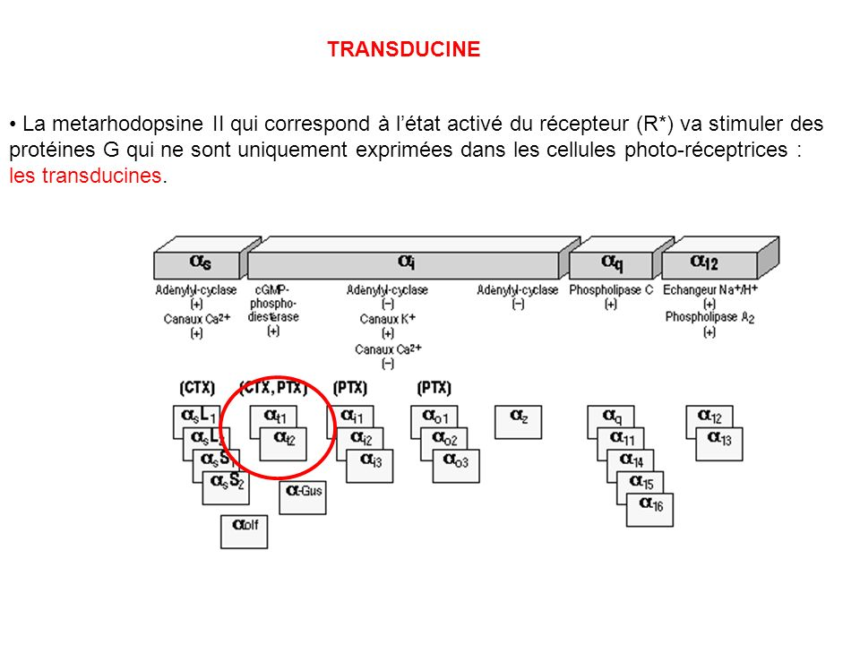 TRANSDUCINE La metarhodopsine II qui correspond à létat activé du récepteur (R*) va stimuler des protéines G qui ne sont uniquement exprimées dans les