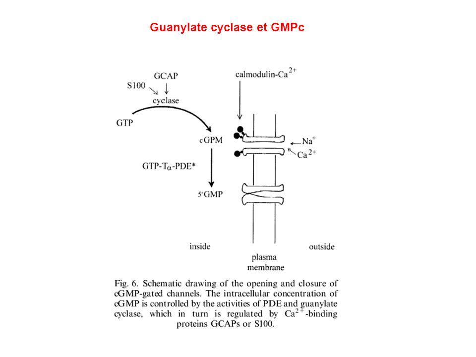 Guanylate cyclase et GMPc