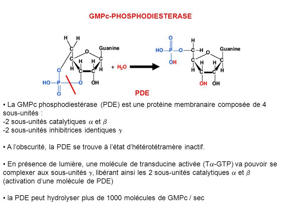 GMPc-PHOSPHODIESTERASE PDE La GMPc phosphodiestérase (PDE) est une protéine membranaire composée de 4 sous-unités : -2 sous-unités catalytiques et -2