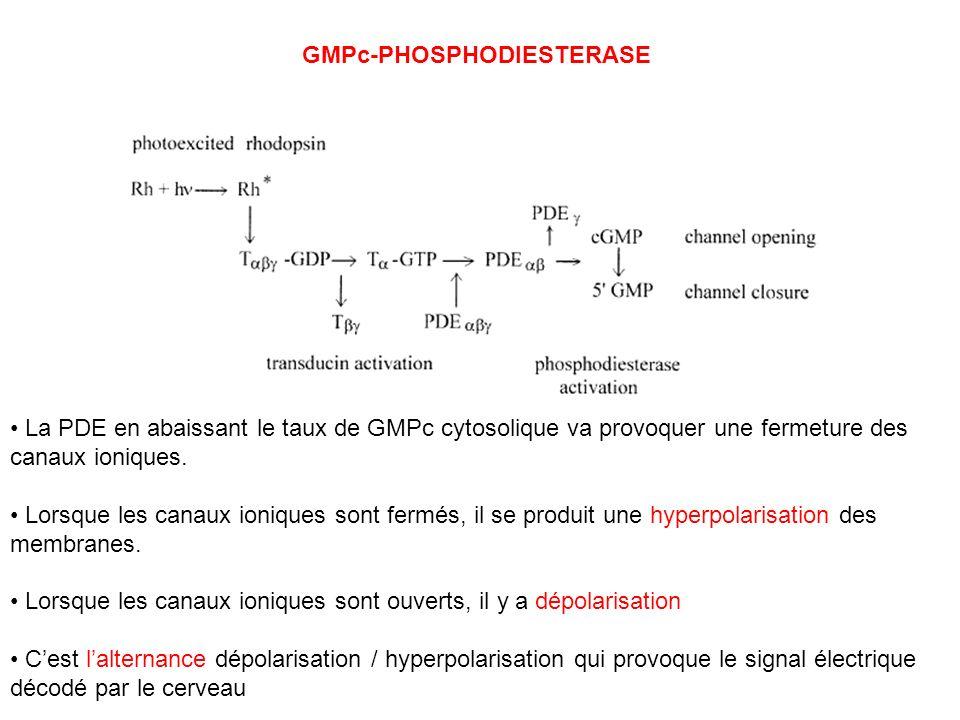 GMPc-PHOSPHODIESTERASE La PDE en abaissant le taux de GMPc cytosolique va provoquer une fermeture des canaux ioniques. Lorsque les canaux ioniques son