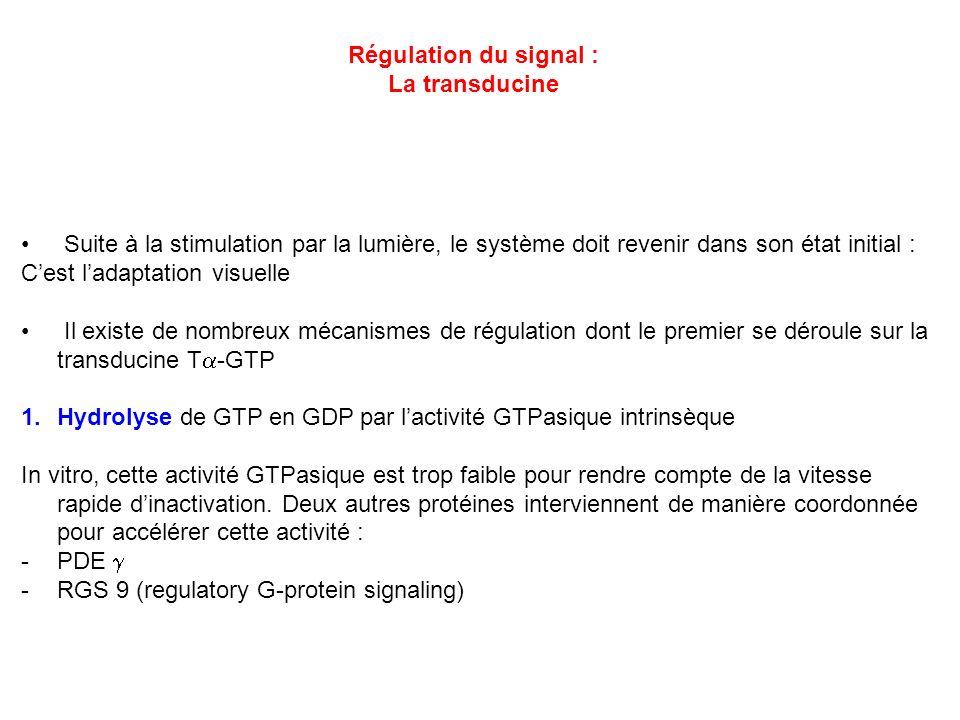 Régulation du signal : La transducine Suite à la stimulation par la lumière, le système doit revenir dans son état initial : Cest ladaptation visuelle