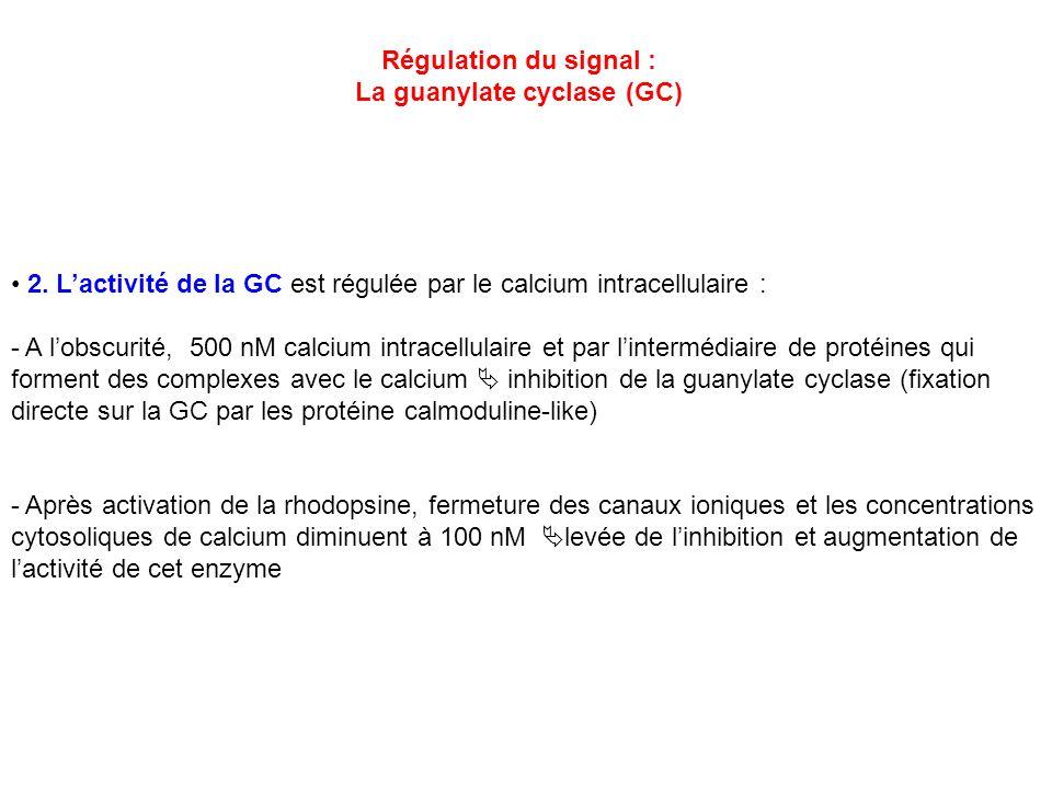 Régulation du signal : La guanylate cyclase (GC) 2. Lactivité de la GC est régulée par le calcium intracellulaire : - A lobscurité, 500 nM calcium int