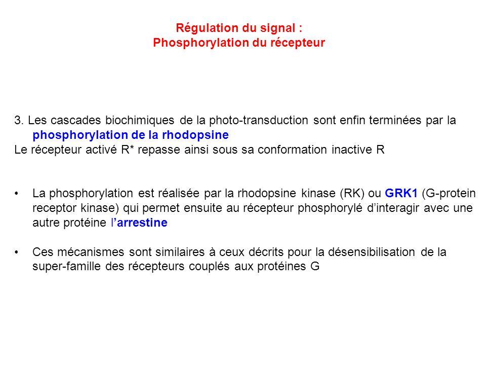 Régulation du signal : Phosphorylation du récepteur 3. Les cascades biochimiques de la photo-transduction sont enfin terminées par la phosphorylation