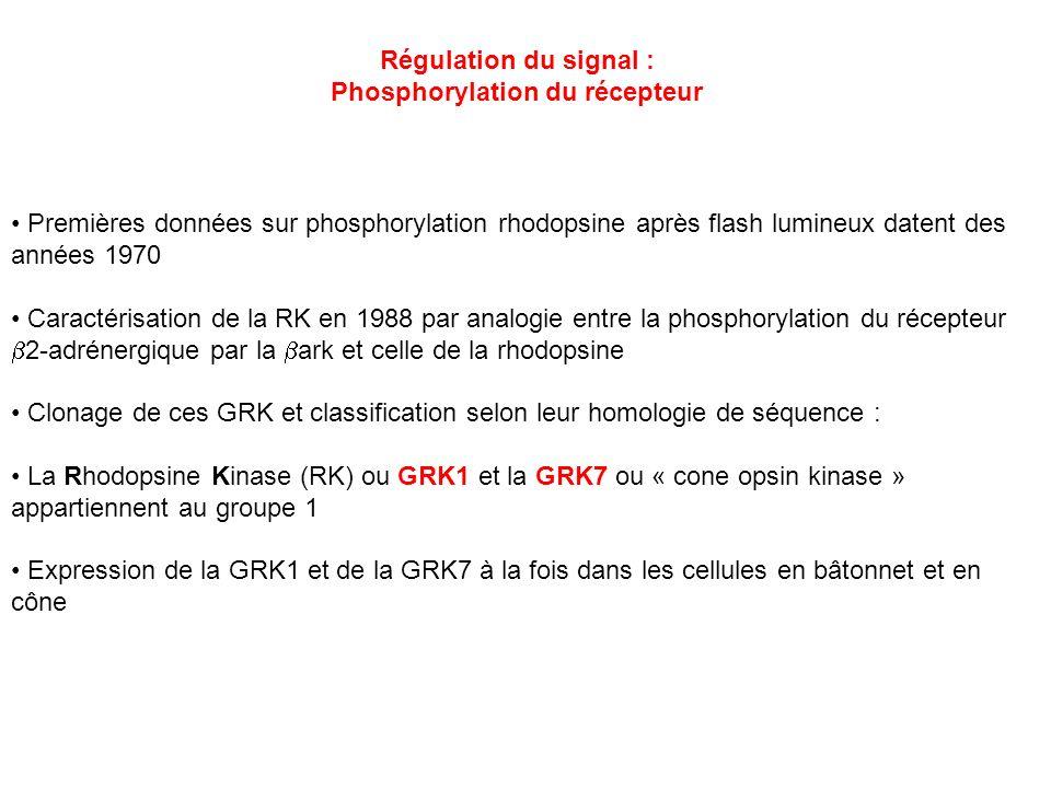 Régulation du signal : Phosphorylation du récepteur Premières données sur phosphorylation rhodopsine après flash lumineux datent des années 1970 Carac